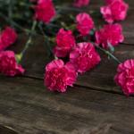 Гвоздика Шабо темно-розовая