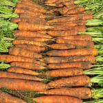Морковь Нантская-4
