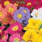 Примула Чойс смесь расцветок