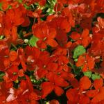 Бальзамин Красная Милашка