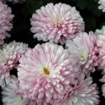 Астра Аполлония Яблоневый Цвет