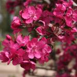 Яблоня декоративная Роялти (Royalty)
