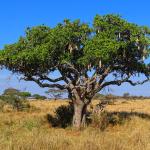 Кигелия Колбасное Дерево