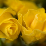 Примула Махровая F1 Розанна Желтая