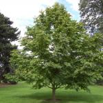 Птерокария (Лапина) Ясенелистная